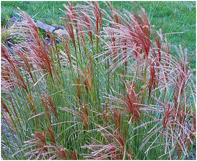 More ornamental grass love njl health beauty for Red landscaping grass